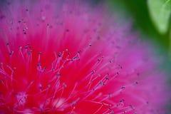 Pink Powderpuff Macro Stock Image
