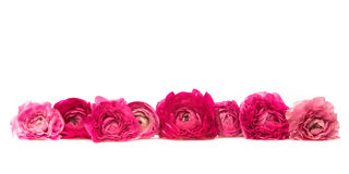 Pink Power. Eight pink and magenta blossom of lying in a line in front ob a white background Stock Image