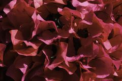 Pink Primavera Flowers bougainvillea Filled Frame Close-up royalty free stock images