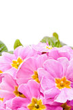 pink primeroses in spring Stock Photos