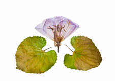 Pink Primrose. Dried and pressed flower isolated on white Stock Photos