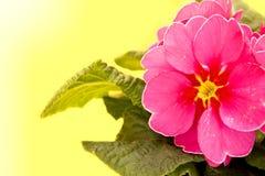 Pink primrose Stock Photo