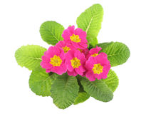 Pink primrose, above view Stock Photo
