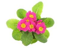 Pink primrose, above view Stock Photo
