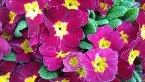 Pink primrose. Background pink primrose flower royalty free stock photo