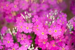 Pink primrose flower Stock Photography