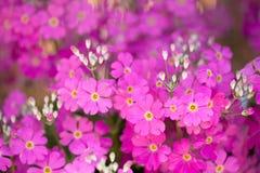Pink primrose flower Stock Photography