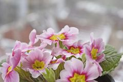 Pink Primrose flower with snowflakes in the pot royalty free stock photos