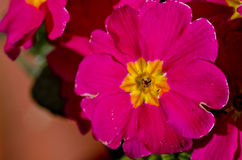 Pink primrose flower, primula cultivar. Royalty Free Stock Photo