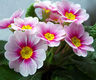 Pink Primrose Flowers. A closeup of pink primrose (Primula vulgaris) flowers with yellow center. They are one of the first flowers of spring. Photographed in Stock Photo
