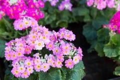 Pink Primrose flowers Stock Images