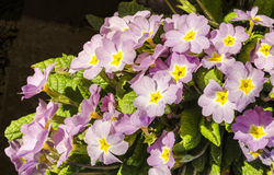 Pink primrose illuminated by spring sun Royalty Free Stock Image