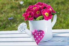 Pink primrose Royalty Free Stock Images