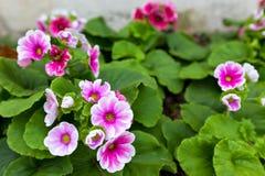 Pink Primrose - Primula obconica Stock Image