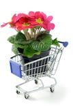 Pink primrose in a shopping cart Stock Photos