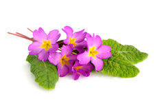 Pink primrose Stock Photography