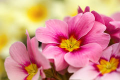 Pink primroses close up photo Royalty Free Stock Photo