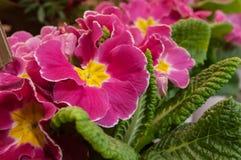 Pink Primroses at florist Stock Images