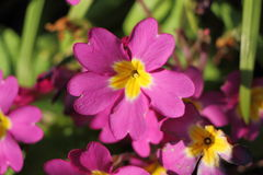 Pink primroses in a garden Royalty Free Stock Images