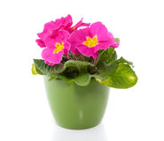 A pink primula. In a green pot isolated over white royalty free stock photo