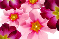 Pink primula Stock Image