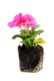Pink primula flower Stock Photo