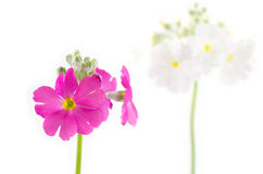 Pink primula flower Royalty Free Stock Photography