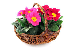 Pink primula flower in basket on white isolated background.  Stock Photos