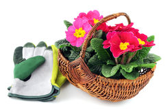Pink primula flower in basket on white isolated background Royalty Free Stock Photography