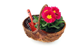 Pink primula flower in basket on white isolated background Stock Images