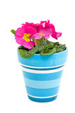 Pink Primula flower in blue pot Stock Photo