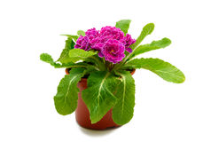 Pink primula flower in flowerpot Royalty Free Stock Photos