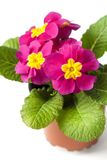 Pink Primula flower in flowerpot isolated on white background. Spring concept royalty free stock images