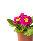 Pink Primula flower in flowerpot  on white background Stock Photography
