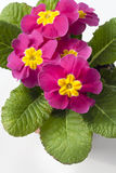 Pink Primula flower on white background Royalty Free Stock Photography