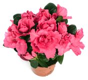 Pink primula in flowerpot Royalty Free Stock Images