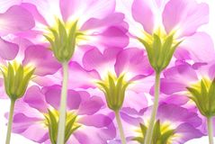 Pink primula flowers Stock Photography