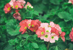 Pink primula flowers blossom Royalty Free Stock Photos