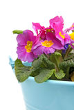 Pink Primula flowers in blue bucket Royalty Free Stock Photo