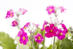 Pink primula flowers. In front of white background Stock Photo