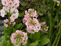 Pink Primula Flowers Royalty Free Stock Images