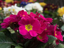Pink primula in the garden Royalty Free Stock Images