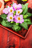 Pink primula with soil on red wooden table Royalty Free Stock Photos