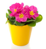 A pink primula in a yellow pot Royalty Free Stock Image