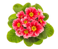 Pink primulas isolated on white background royalty free stock photo