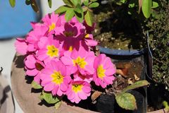 Pink Primulas in spring. Yellow centred pink Primulas Stock Photo