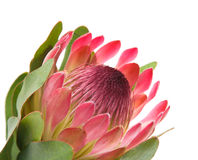 Pink protea. (sugarbush) flower; isolated on white background stock images