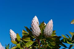 Pink Protea in bud, with green foliage, against a blue sky stock photos