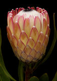 Pink protea flower Stock Photography
