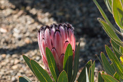Pink protea flower bud Stock Photography
